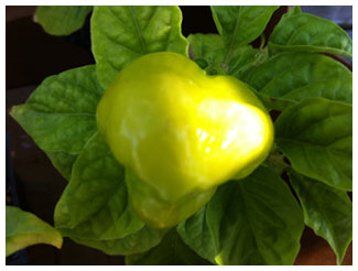 a large Caribbean Red Habanero pod, still green on the plant