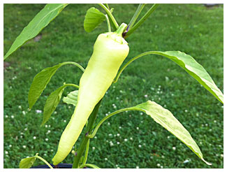 a long, luscious banana pepper