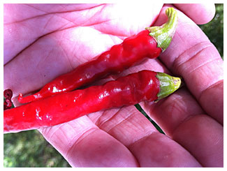 two ripe red cayenne chile peppers