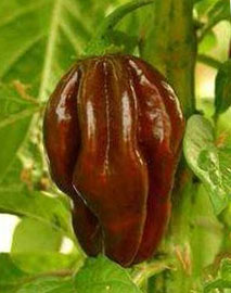 Congo Pepper - Black Scoville Heat Units