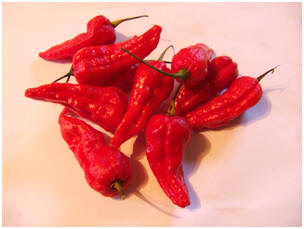 Gibralta / Spanish Naga Chili Pepper