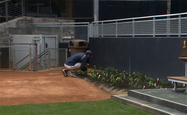 San Diego Padres Plant Chile Peppers at Petco Park's Bullpin