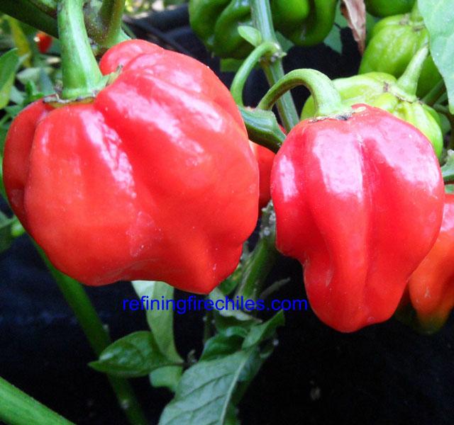 Congo Pepper - Red Scoville Heat Units