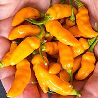 Datil Pepper Scoville Heat Units