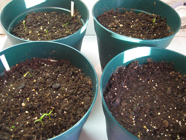 Growing Bhut Jolokias – Step Two – Planting the Seeds 1