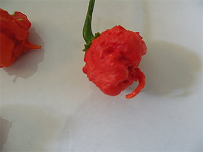 HP22B Chile Pepper AKA Carolina Reaper