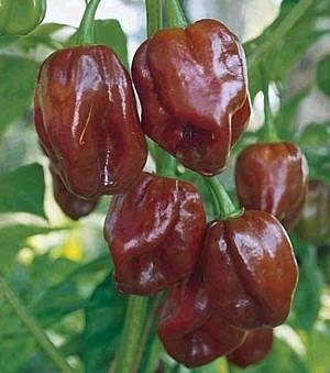 Jamaican Hot Pepper - Chocolate