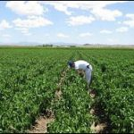 Chile Pepper Industry To Increase Production