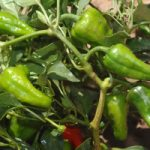 NMSU's Chile Pepper Institute set to bring the heat with 2014 New Mexico Chile Conference