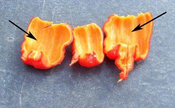 trinidad-moruga-scorpion-nmsu
