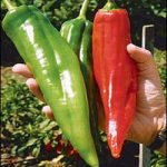 NMSU Produces Super Chile With 500 Percent More Flavor and Aroma
